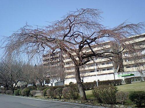 しだれ桜032010.JPG