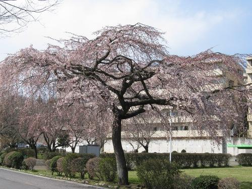 しだれ桜032710.JPG