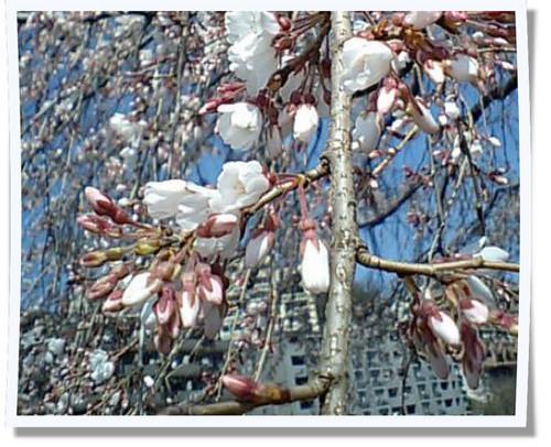 しだれ桜0327101写真.jpg