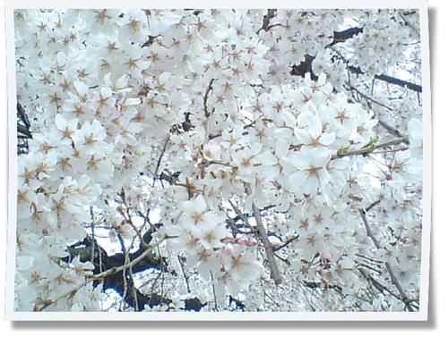 しだれ桜写真.jpg