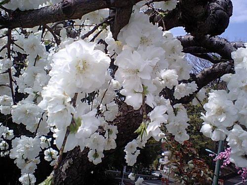 八重のしだれ桜0411102.JPG