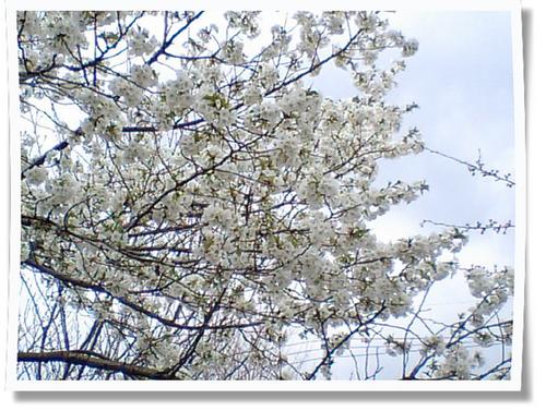 白い桜写真.jpg