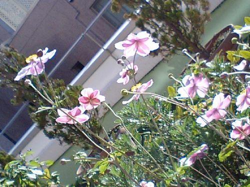 秋明菊.JPG