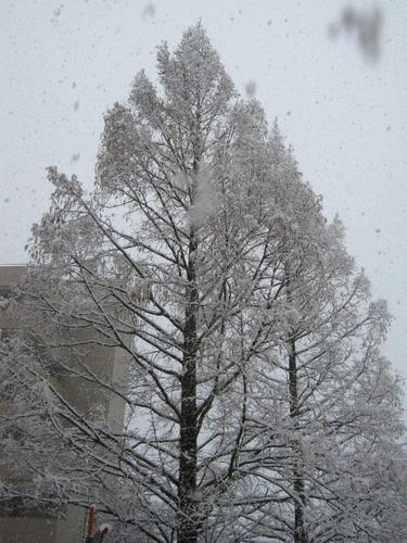 IMG_9284病院の樹022912.JPG