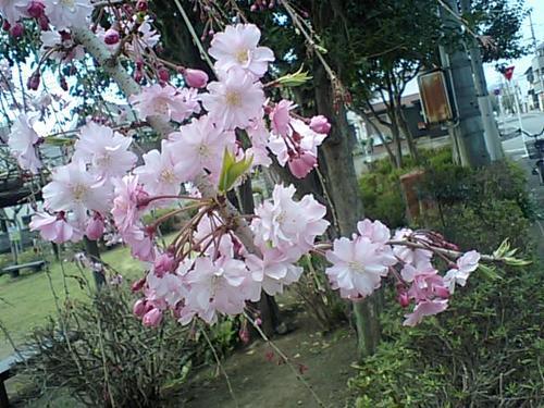 八重のしだれ桜0411101.JPG