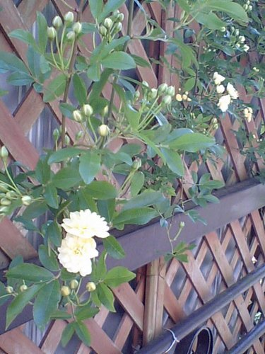 垣根の花042910.JPG