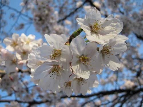 IMG_9855桜040612.JPG